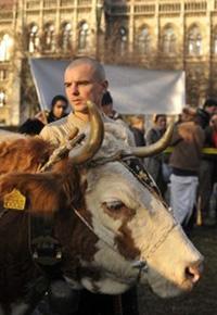 Коровы тоже протестуют